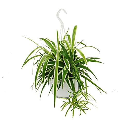 Exotenherz - Chlorophytum, Grünlilie, Ampelpflanze 15cm...