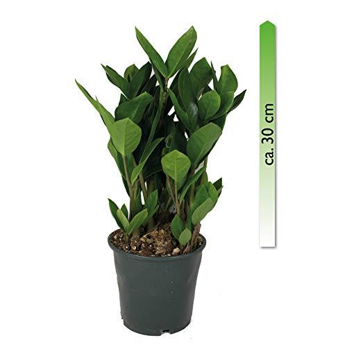 mgc24, Pflanzenservice Zamioculcas zamiifolia, im 14er Topf,...