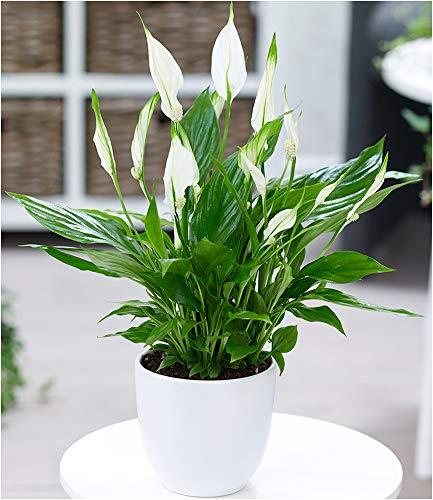 BALDUR Garten Spathiphyllum, 1 Pflanze Luftreinigende...