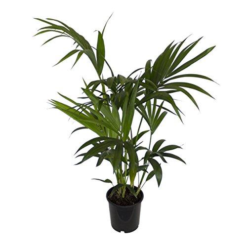 Dominik Blumen und Pflanzen, Zimmerpflanzen Kentia-Palme,...
