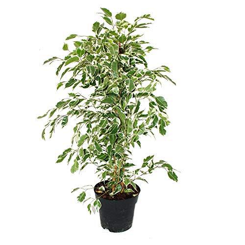Exotenherz - Ficus benjamini'Twighlight' im 17cm Topf
